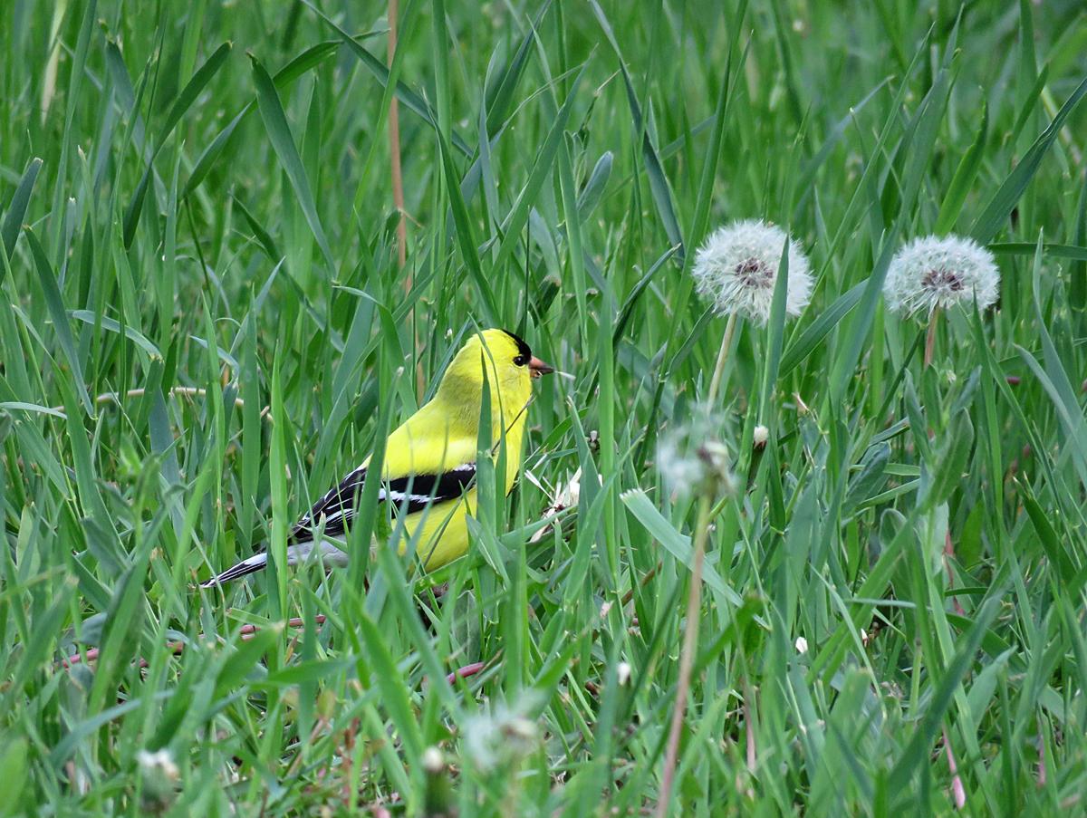 KippGoldfinch