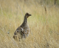 Sharp-tailed and sage grouse rely on grasslands