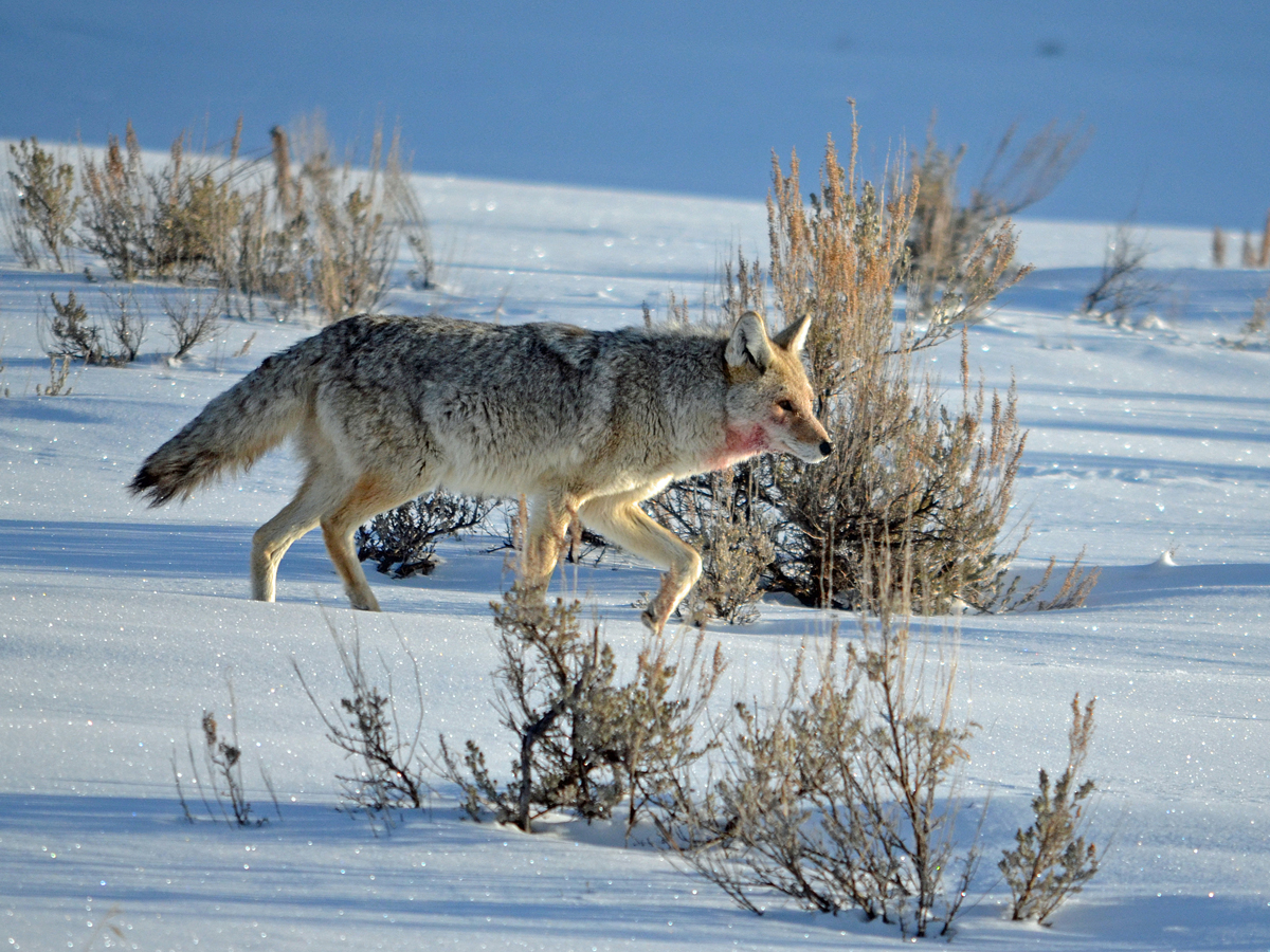 YellowstoneCoyote