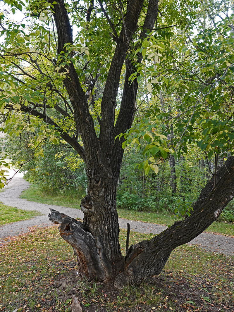 An old maple with two main trunks and one broken trunk leaning to the left.