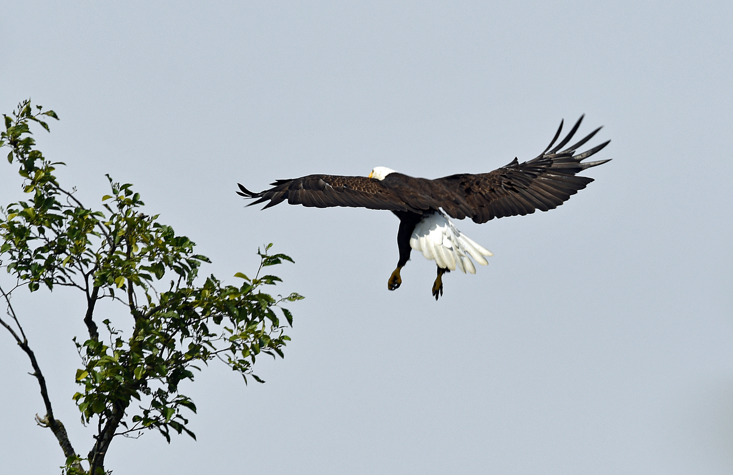 An adult bald eagle is flying toward a small tree with its wings spread and talons dropped for landing.