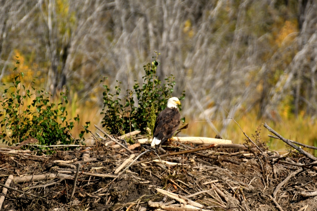 A bald eagle sits on top of the dome of a beaver lodge, made of mud and sticks.