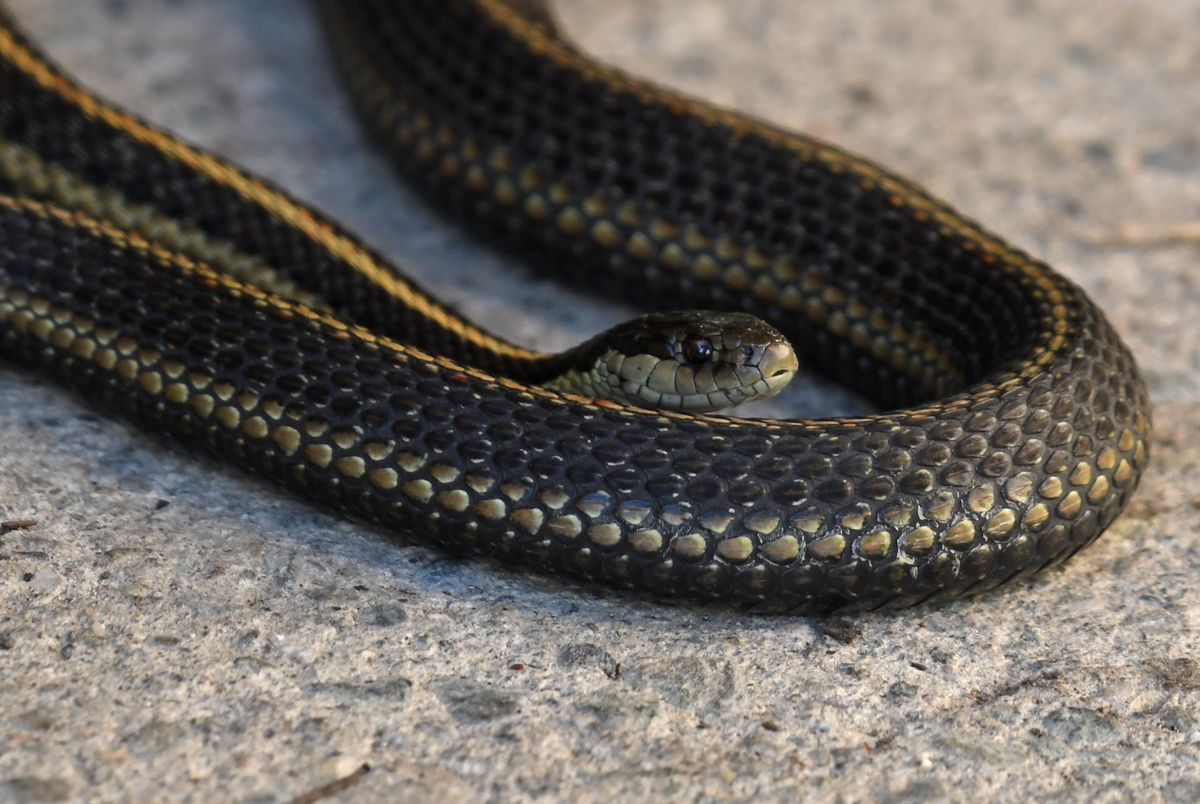 A dark garter snake is curled up with face pointed right, eye focused on the viewer.