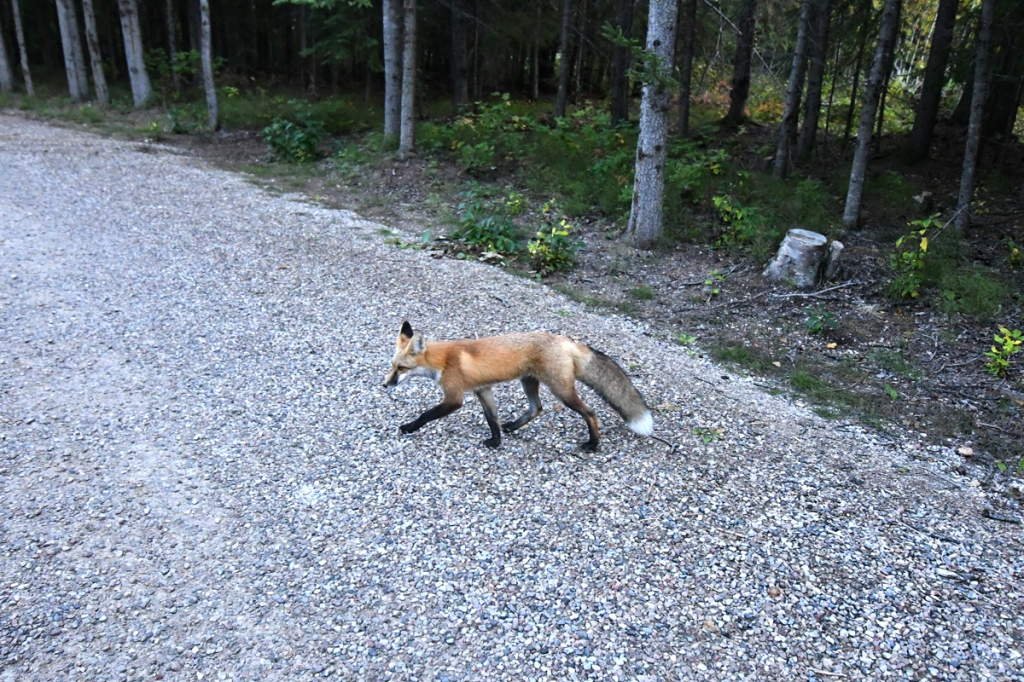 A black-legged red fox heads across a gravel path winding past forest.