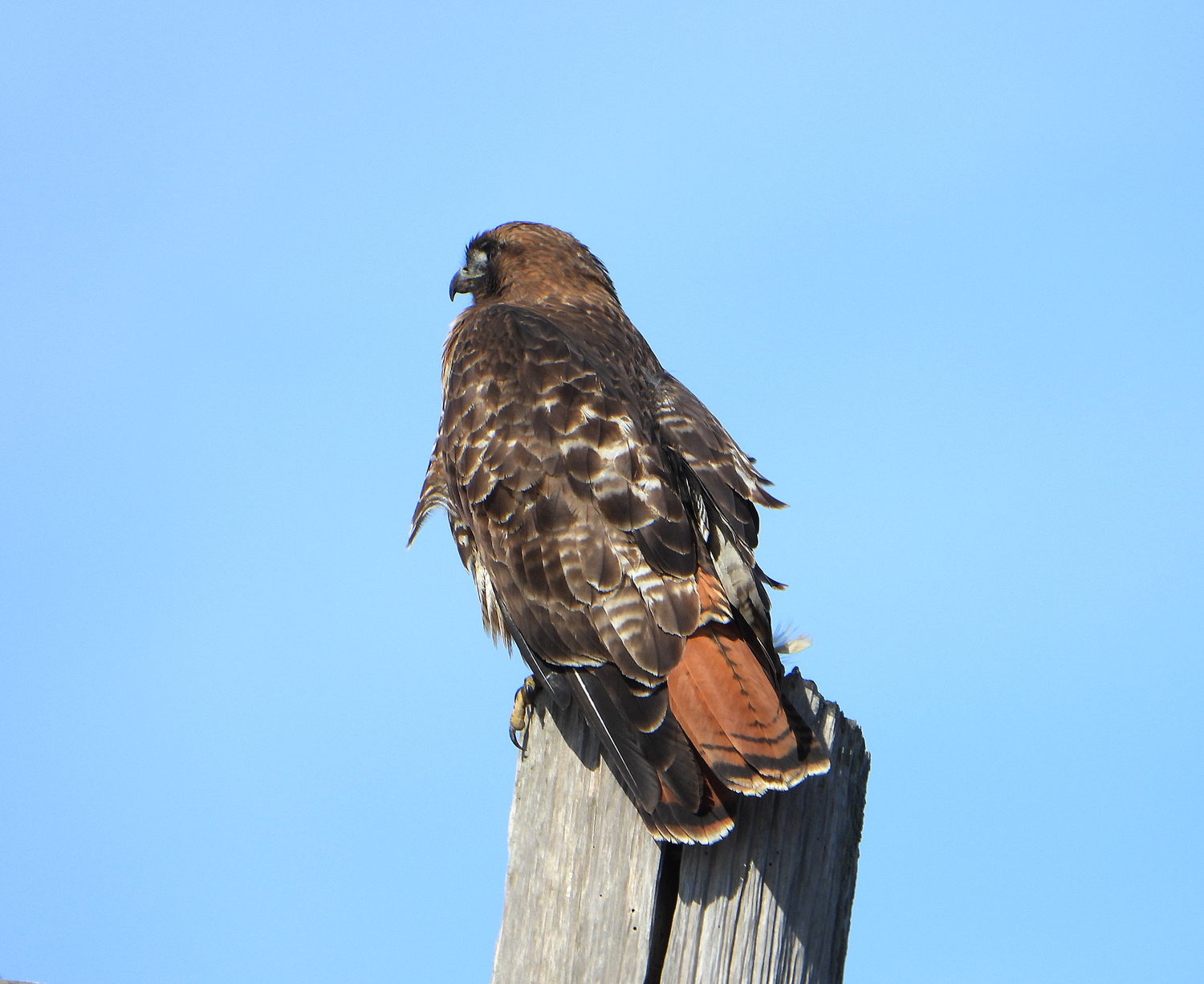 A dark hawk with striking red tail looks into the distance from its perch on a grey post.