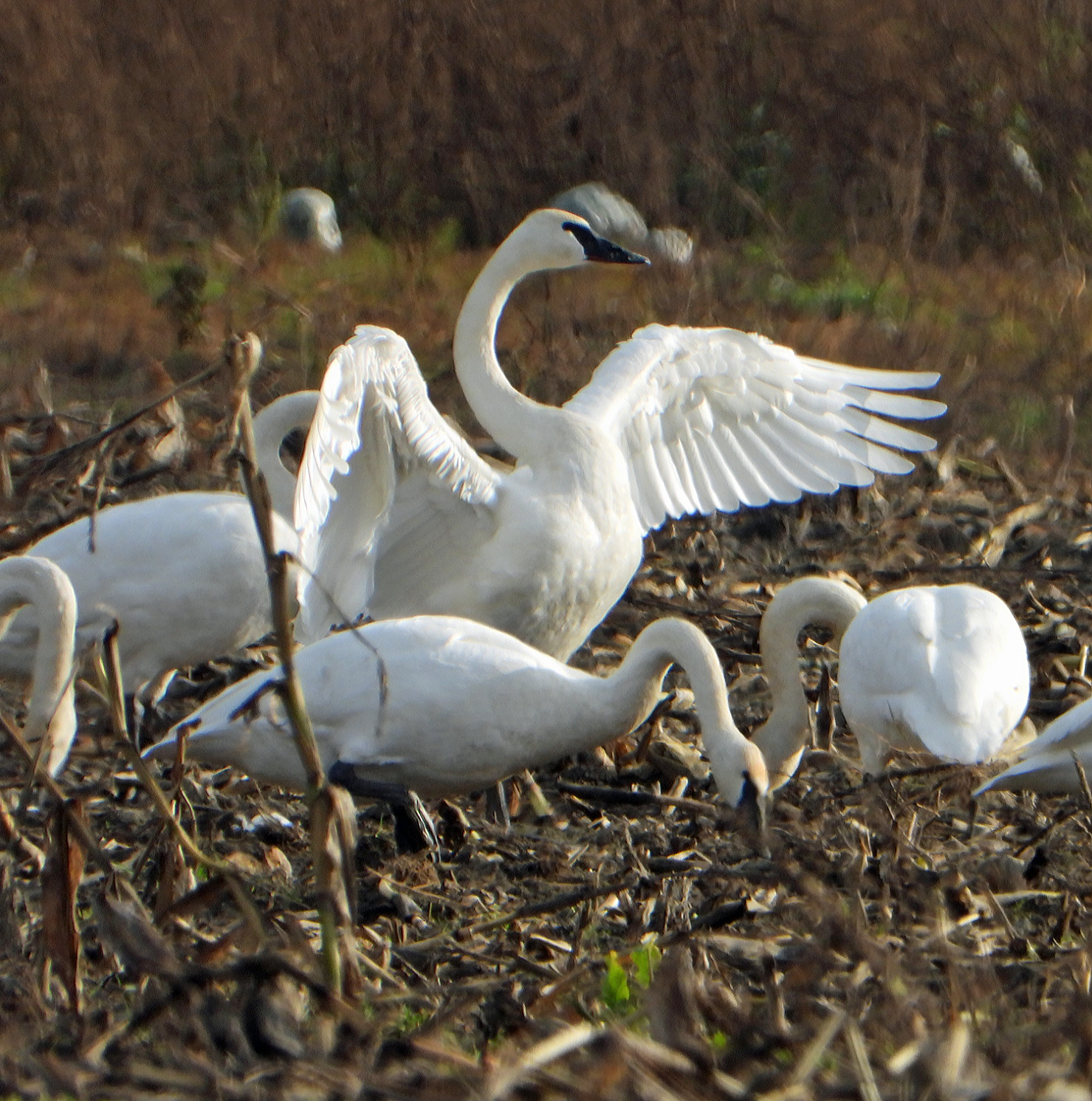 A group of white swans are feeding among brown corn stubble while one spreads its wings over them.