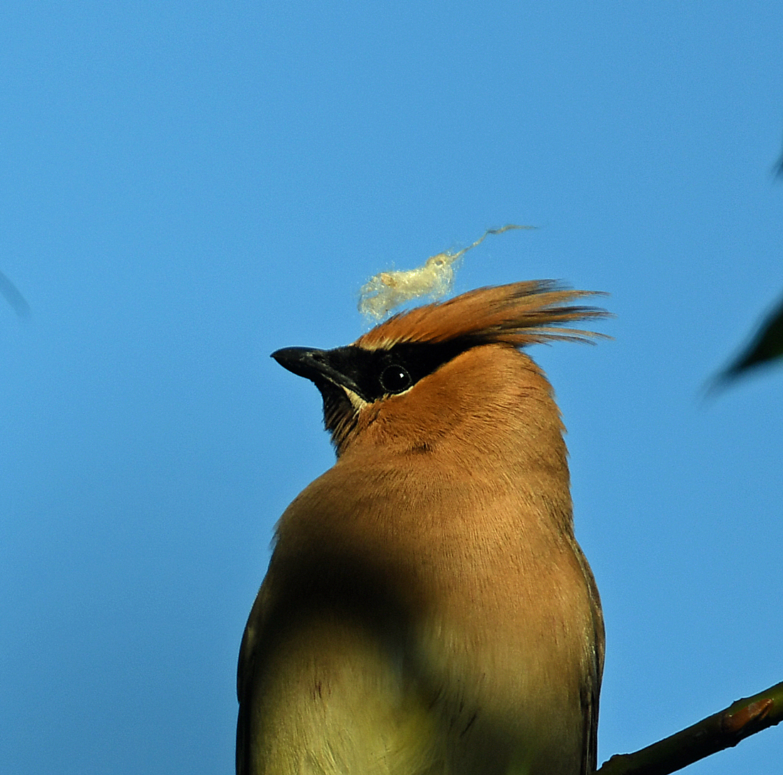 A rusty yellow cedar waxwing with black mask and beak faces left. On its head feathers rests a fragment of plant fluff, sparkling against a blue sky.