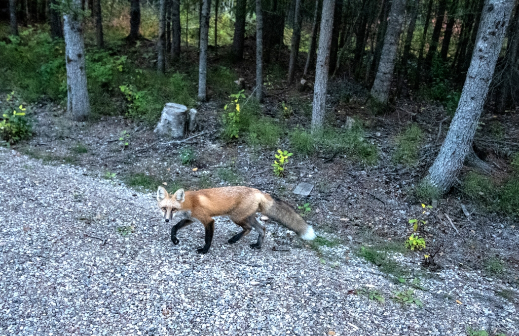 A fox steps across a gravel path with trees running alongside it.