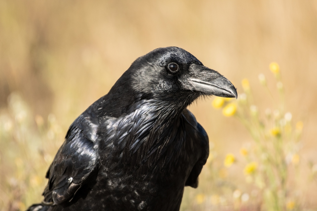 A shiny black raven glances at the camera with its head tilted as if listening.