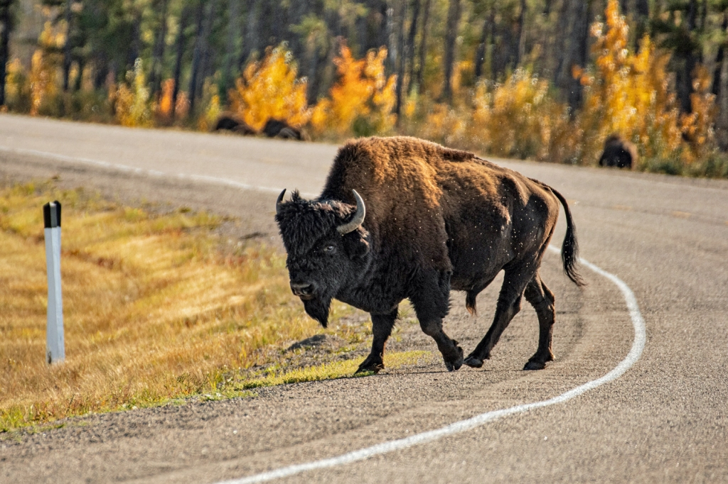 A wood buffalo bull walks across a curving highway, with golden leaved fall trees bright in sunlight behind it.