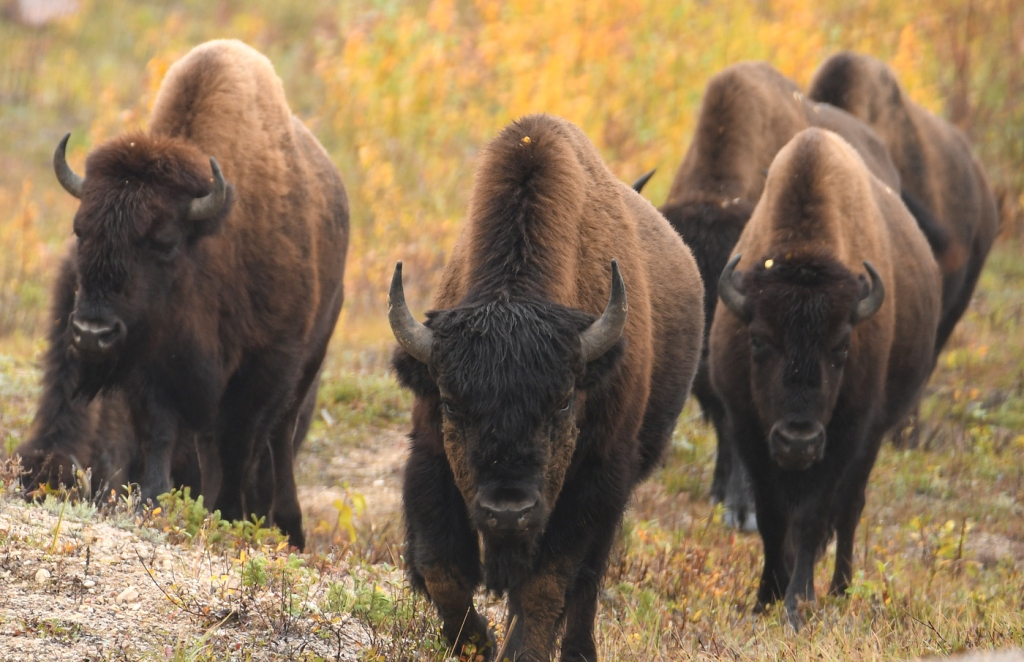 A group of bison approach the camera, with a dark faced bull in the front.