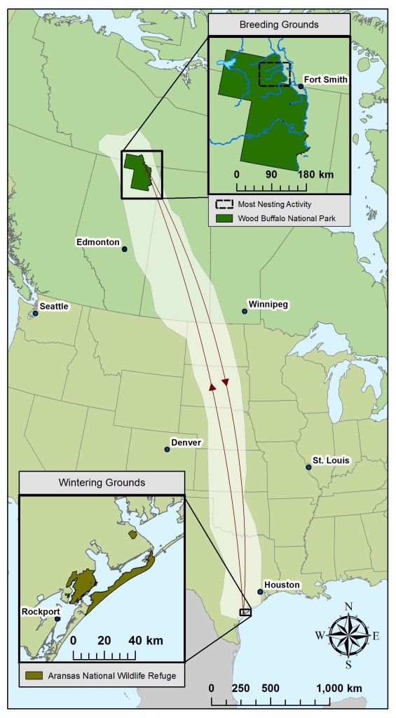 Map showing whopping crane migration route as a line extending from coastal Texas in the US to Wood Buffalo National Park.