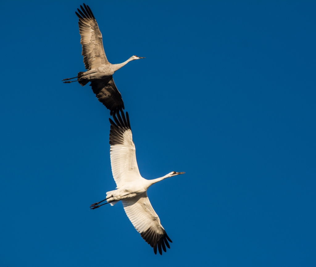 Photo of a whooping crane and sandhill crane from underneath, flying wingtip to wingtip with a deep blue sky in the background.
