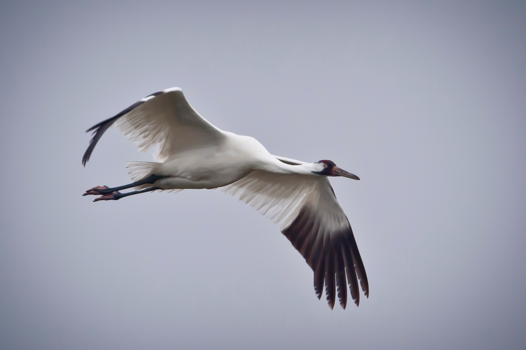 Large white bird with red-capped head and black mask and wingtips, flying with wings outstretched and neck stooped for balance.